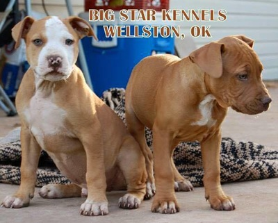 American Pitbulls - OK Big Star Kennels
